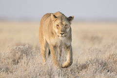 Lioness walking in grass royalty free stock photography