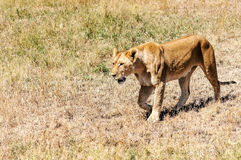Lioness walking Royalty Free Stock Photo