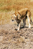 Lioness walking Royalty Free Stock Photos