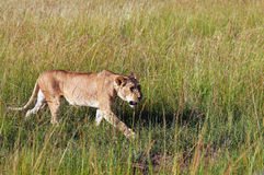Lioness walking through green grass Royalty Free Stock Images
