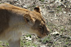 Lioness. Walking outdoors with grass in the background Royalty Free Stock Photos