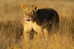 Lioness walking Royalty Free Stock Images