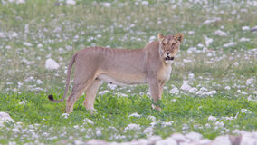 Lioness walking on the plains of Etosha Stock Photos