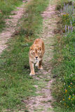 Lioness walking on the road Royalty Free Stock Photo