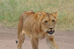 Lioness  walking in the savanna in Serengeti National Park. In Tanzania Africa Stock Photos