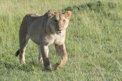 Lioness walking on savannah looking at camera Royalty Free Stock Photography