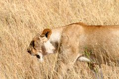 Lioness walking in the wild. Lioness walking and looking for prey Stock Photo