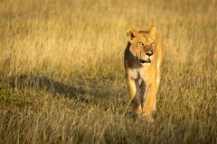 Free Lioness Walks Through Grass With Head Up Stock Photo - 172368910