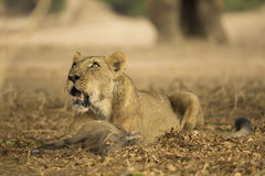 Lioness with Warthog kill Stock Photo