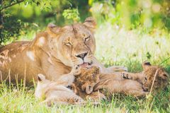 Lioness are washing her cubs in the grass. stock image