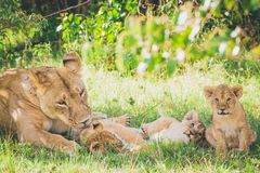 Lioness are washing her newborn cub, brother and sister are playing in the grass. royalty free stock photo