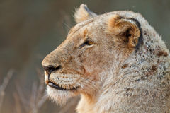 Lioness watching Royalty Free Stock Photo