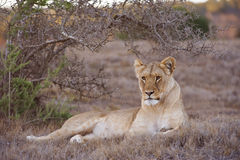 Lioness Watching Stock Image