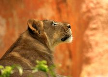 A Lioness Watching Her Prey Stock Image