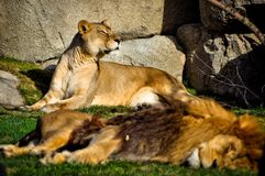 Lioness watching the horizon. While the lion owns placidly. Africa. wild life stock photos