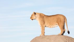 Lioness watching from a rock Stock Image