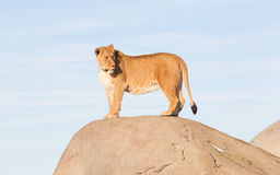 Lioness watching from a rock Royalty Free Stock Photography