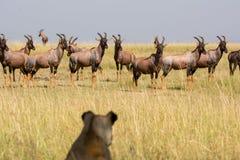 Lioness Watching Topi Antelope Herd stock photos
