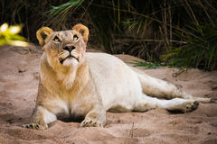 Resting lioness. A lion female watching around her at Imfolozi National Park, South Africa Stock Photo