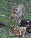 Lion cub & lioness Royalty Free Stock Images