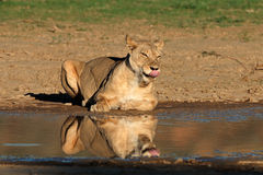 Lioness at a waterhole Stock Images