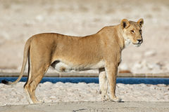 Lioness at a waterhole Royalty Free Stock Images