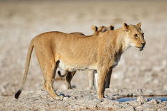 Lioness at waterhole Stock Images