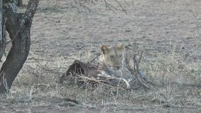 Lioness who takes out the remains of an antelope marsh from under the branches under a tree a hot evening stock footage