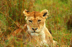 Lioness in the wild. Africa. Kenya. Masai Mara stock photo