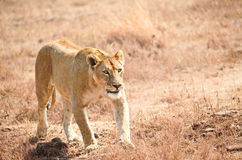 Lioness in the wild Stock Images