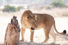 Lioness in the wild Stock Photography