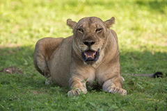 Lioness in the wild, Africa Stock Images