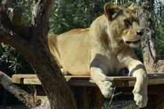 Lioness wild animal Stock Photos