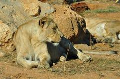 Lioness wild animal. Southwest african lioness resting. Wild mammal animal stock photo