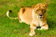 Lioness Wild Cat Laid Down. Large Lioness In A Lazy Pose Shoot In A Zoological Garden Royalty Free Stock Photos