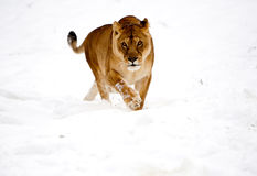 Lioness Wild Cat In The Snow. Rare Scene Lioness Playing In The Snow Stock Photos