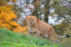 Lioness in the wild Stock Image