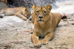 Lioness in the wild Royalty Free Stock Images