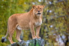 Lioness in the wild Royalty Free Stock Image