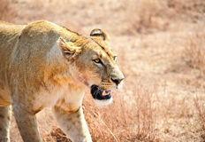 Lioness in the wild,Kenya Royalty Free Stock Photos