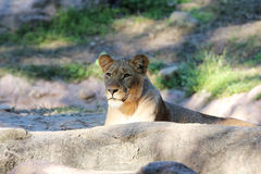 Lioness. In the wild lies and looks Royalty Free Stock Photos