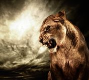 Lioness in a wild life Royalty Free Stock Photography