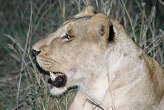 Lioness. Wild lioness at night Royalty Free Stock Photo