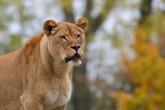 Lioness in the wild Royalty Free Stock Photo