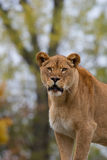 Lioness in the wild, a portrait Stock Images