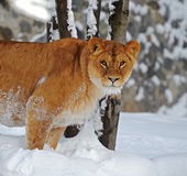 Lioness in winter Stock Photo