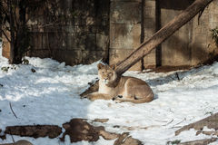 Lioness in the Winter. Lions in the winter snow at the Philadelphia zoo Stock Images