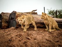 Lioness Beside Wood Trunk during Daytime Royalty Free Stock Photography