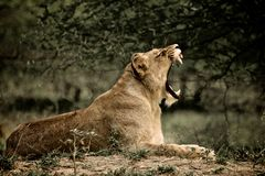 Lioness yawn Royalty Free Stock Image