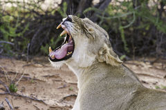 Lioness yawn with teeth Stock Photo